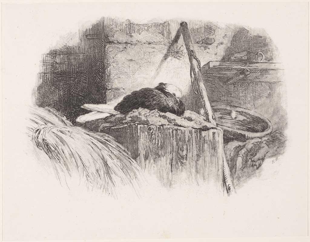 Broedende duif